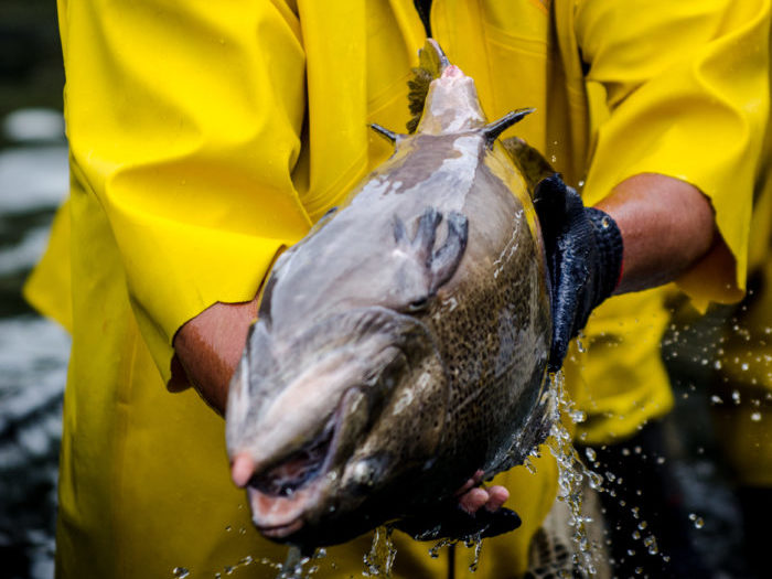 Press Release – New Zealand King Salmon And Xelect Agree 4 Year Breeding Program Management Contract.